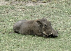 grazing, fauna, pig-like mammal, warthog, pasture, wildlife,