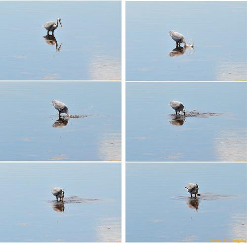 birds manipulated geotagged shediac greatblueherons allrightsreserved©drgnmastrpjg geo:lat=46226044 geo:lon=64544639 ©pjgergelyallrightsreserved