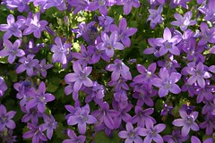 aubrieta(0.0), annual plant(1.0), flower(1.0), purple(1.0), plant(1.0), lilac(1.0), wildflower(1.0), flora(1.0), hesperis matronalis(1.0), bellflower(1.0), petal(1.0),