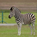 zebra image, photo or clip art