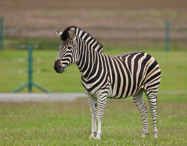 IMGL5397 | Young Zebra | By: rayand | Flickr - Photo Sharing!