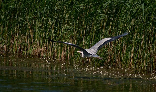 Grey heron in Kopački rit