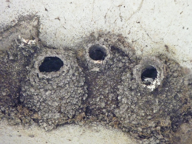 Cliff Swallow Nests 72