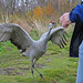 A very angry Sandhill Crane! by snap happy2010