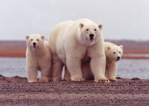 Polar Bear Female With Cubs Along the Beaufort Sea