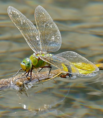 Emperor Dragonfly (Anax imperator) female laying eggs ... - Photo of Revest-les-Roches