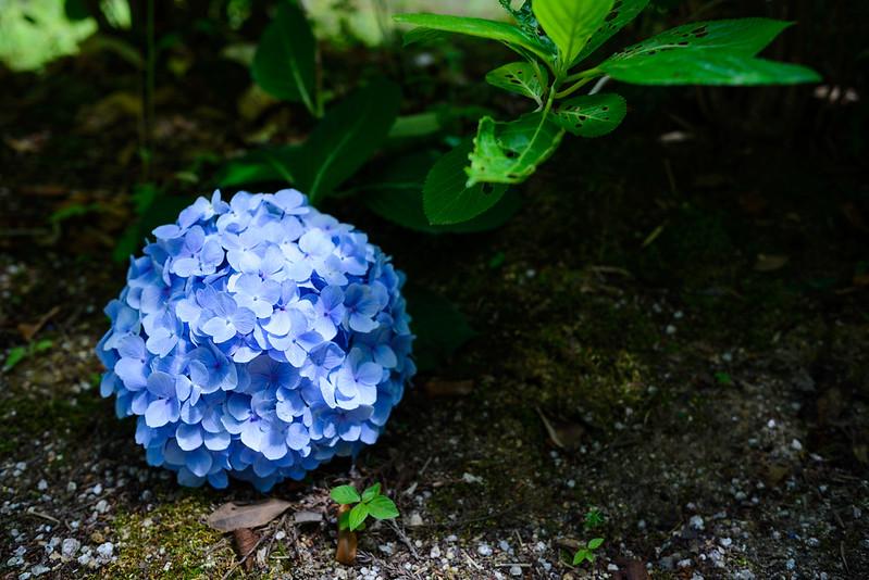 月照寺 紫陽花-4