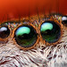 Anterior Median Eyes of an Adult Female Paraphidippus aurantius by Thomas Shahan