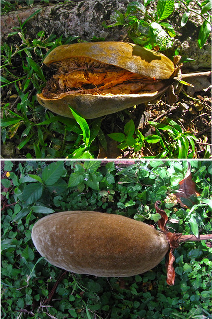 Baobab Fruit Flickr Photo Sharing