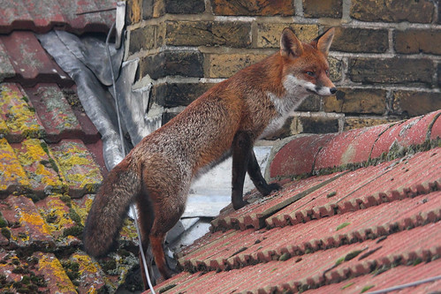 Fox on roof #2