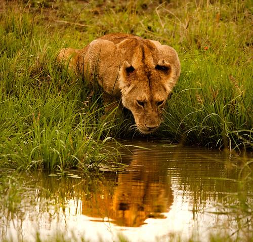 Safari Kenya Masai Mara Lion
