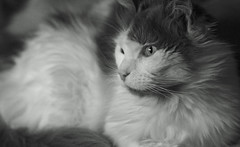 domestic long-haired cat, nose, animal, maine coon, white, small to medium-sized cats, monochrome photography, close-up, cat, monochrome, carnivoran, whiskers, black-and-white, black, norwegian forest cat,