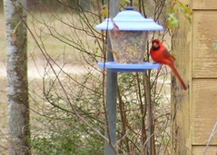 bluebird(0.0), perching bird(1.0), branch(1.0), fauna(1.0), bird feeder(1.0), cardinal(1.0), bird(1.0),