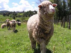 verdant sheep