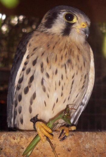 Falco sparverius 4428269679_893fed6bb3_o