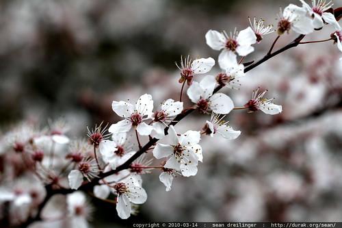 blossoms   dogwood?