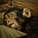 Sleepy Monkey...