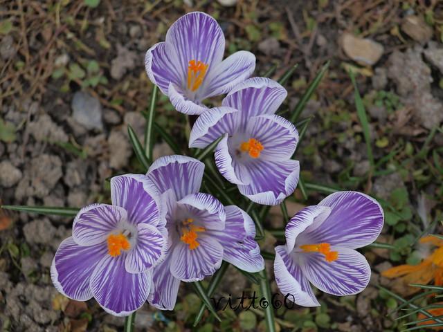 I primi fiori primaverili crocchi flickr photo sharing - Fiori primaverili ...