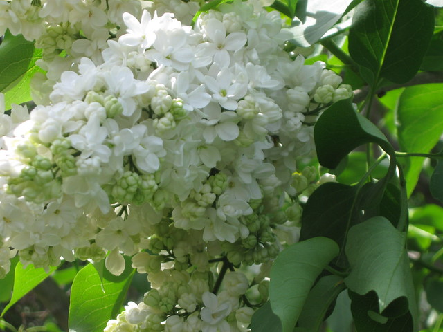Syringa vulgaris 'General Sherman'