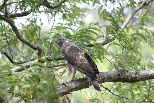 4507650944 0dbb200e89 Changeable Hawk Eagle at Chinnar
