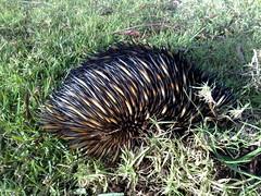echidna, animal, porcupine, grass, monotreme, fauna, wildlife,