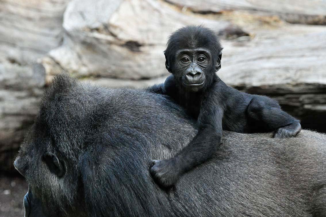 Gorilla Baby auf Mutter-Ruecken
