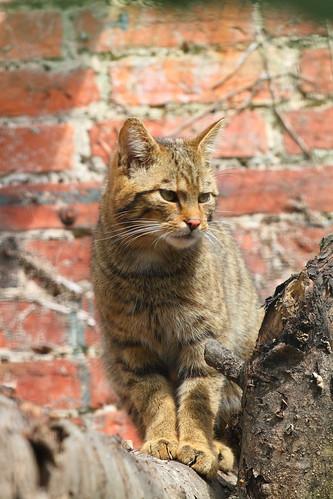 Scottish Wildcat 5