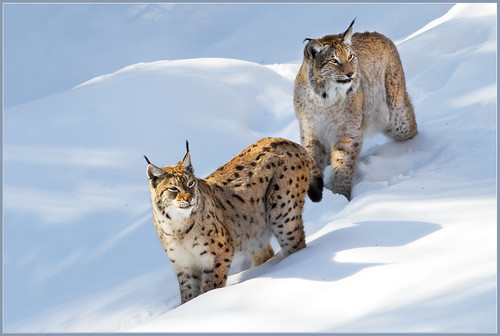 Mr. and Mrs. Lynx