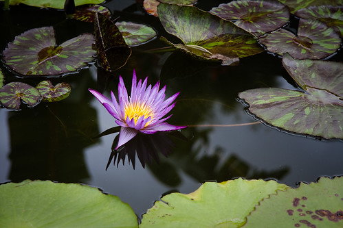 Blue Lotus Water Garden (05) | by Stephen Edmonds