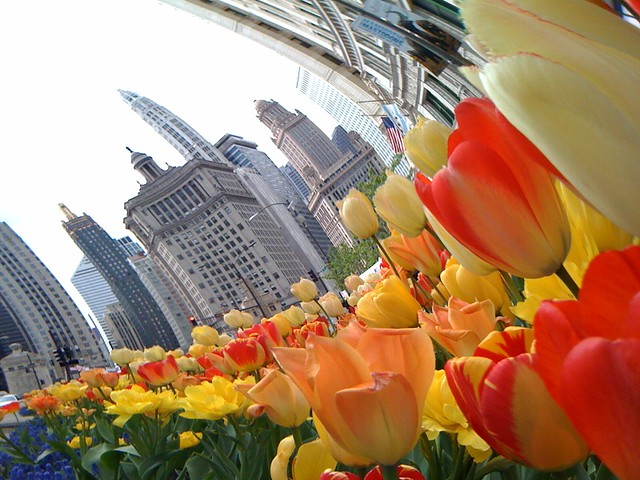 The tulips make everything into a cartoon world (2)