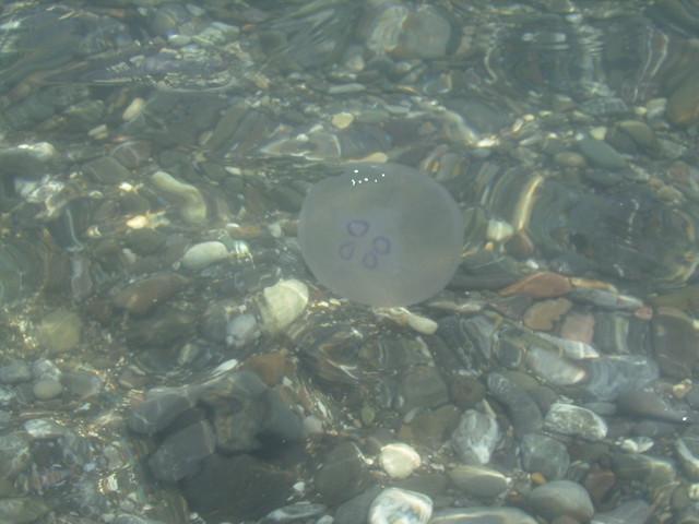 Jelly Fish at Agiofaraggo beach, Heraklion