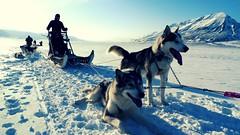 dog(1.0), arctic(1.0), winter(1.0), vehicle(1.0), snow(1.0), pet(1.0), mammal(1.0), mushing(1.0), greenland dog(1.0), dog sled(1.0), sled dog racing(1.0), sled dog(1.0),