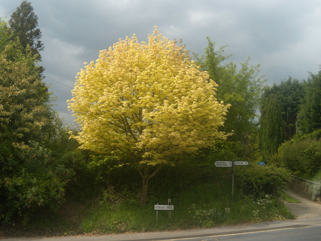 Radiant tree Pluckley Circular