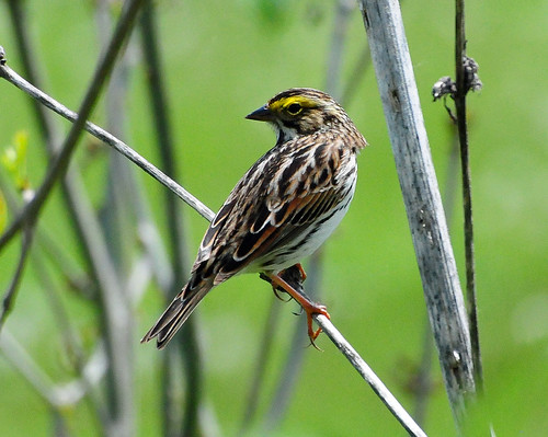 Sparrow - Savannah Sparrow