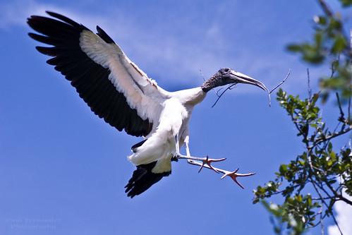 zoo florida jacksonville stork nesting woodstork jacksonvillezoo jacksonvilleflorida newgoldenseal tplringexcellence storkwood