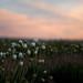 Cisco Flower Field by Dubois-WA