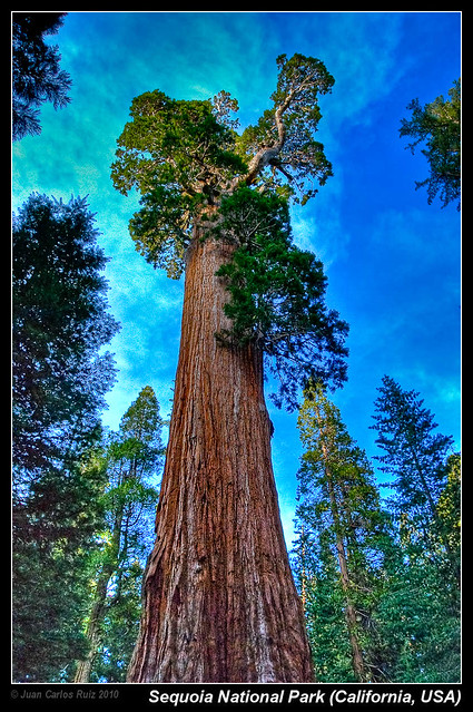 General Grant Giant Sequoia Sequoia
