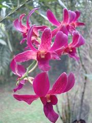 lathyrus latifolius(0.0), flower(1.0), plant(1.0), phalaenopsis equestris(1.0), flora(1.0), dendrobium(1.0), petal(1.0),