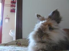 guinea pig(0.0), animal(1.0), rabbit(1.0), domestic rabbit(1.0), pet(1.0), angora rabbit(1.0), whiskers(1.0), rabits and hares(1.0),