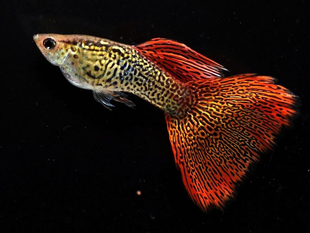 Apwf fancy guppy page 4 arofanatics fish talk forums for Fancy guppy fish