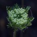 American Wild Carrot - Photo (c) NatureShutterbug, some rights reserved (CC BY)
