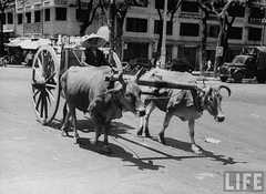 Saigon 1950 - A local citizen driving a crate moved by two bulls through the streets.