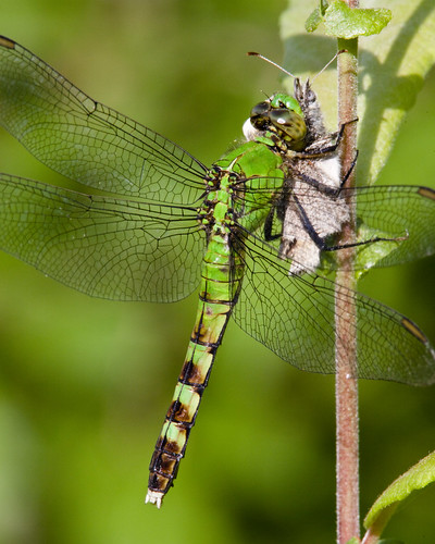 insect dragonfly nj bearswamp tnc kh0831
