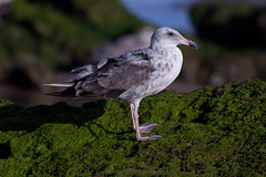 animal, charadriiformes, wing, nature, fauna, european herring gull, beak, bird, seabird, wildlife,
