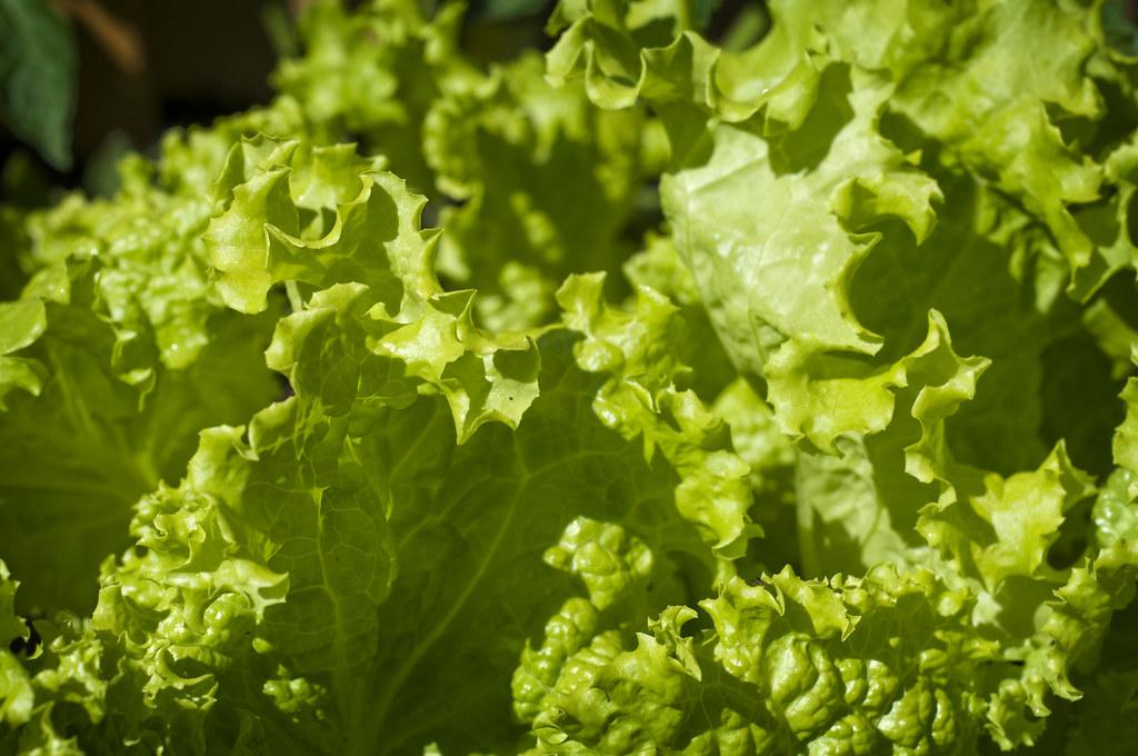 green leaf lettuce raw