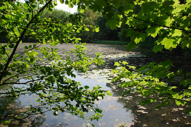 Nénuphars à l'arrière étang sauvage (Rouge-Cloître domain ,Brussels)