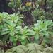 Dubautia laxa subsp. hirsuta
