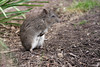 Bettongs, Potoroos, and Rat-kangaroos - Photo (c) Leo, some rights reserved (CC BY-NC-SA)