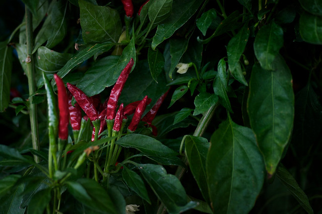 Red Hot Chili Pepper Plant | Flickr - Photo Sharing!