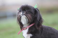 dog breed, animal, dog, schnoodle, pet, mammal, lhasa apso, shih tzu, affenpinscher,